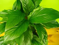 Spathiphyllum home flower of green color. Lime background. The decor is inside the apartment. Nature tropics stock photo