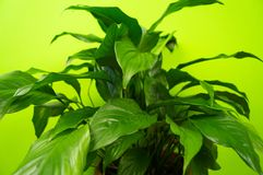 Spathiphyllum home flower of green color. Lime background. The decor is inside the apartment. Nature tropics stock image