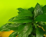 Spathiphyllum home flower of green color. Lime background. The decor is inside the apartment. Nature tropics stock photos
