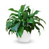Spathiphyllum Royalty Free Stock Image