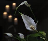 Spathiphyllum kwiat Zdjęcie Stock