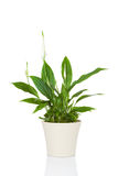 Spathiphyllum kwiatu roślina Obraz Royalty Free