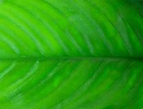 Spathiphyllum Stock Photos