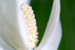 Spathiphyllum Stock Photography