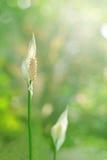 Spathiphyllum (de Lelie van de Vrede) Royalty-vrije Stock Foto's