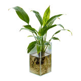 Spathiphyllum o lirio de paz imagen de archivo libre de regalías