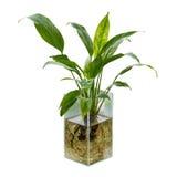 Spathiphyllum ou lis de paix Image libre de droits