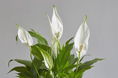 Spathiphyllum,Peace lily Royalty Free Stock Photos