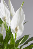 Spathiphyllum,Peace lily Royalty Free Stock Image