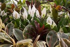 Spathiphyllum flowers behind fig tree leaves stock image