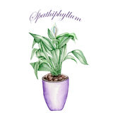 Spathiphyllum in a pot. Spathiphyllum in a purple pot painted in watercolor on a white background Stock Images