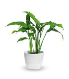 Spathiphyllum Royalty Free Stock Photos