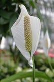 Spathiphyllum Royalty Free Stock Photography