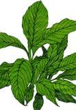 Spathiphyllum quitte l'usine de maison - croquis tiré par la main d'isolement sur le fond blanc illustration libre de droits