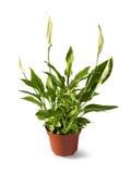 Spathiphyllum Spath ou lis de paix dans un pot d'isolement Photographie stock libre de droits