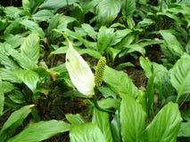 Spathiphyllum spp lub Spathiphyllum piękny kwiat Obrazy Stock
