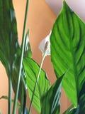 Spathiphyllum växt royaltyfri bild