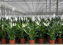 Spathiphyllum wallisii Royalty Free Stock Images