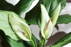 Spathiphyllum wallisii two flowers Royalty Free Stock Photo
