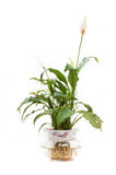 Spathiphyllum Royalty Free Stock Images