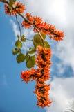 Spathodea blüht, afrikanischer Tulpenbaum, Feuerglocke stockbild
