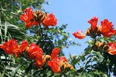 Spathodea blommor och knoppar Arkivfoto