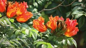 Spathodea Campanulata or Africom Tulip Flower in natural light. Backgrounds stock video