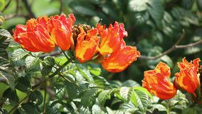 Spathodea Campanulata or Africom Tulip Flower in natural light. Backgrounds stock footage