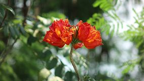 Spathodea Campanulata or Africom Tulip Flower in natural light. Backgrounds stock video footage