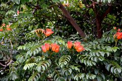 Spathodea campanulata eller afrikantuliptree Arkivfoton