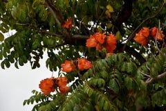Spathodea campanulata eller afrikantuliptree Arkivbild