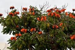 Spathodea campanulata eller afrikantulpanträd Royaltyfri Fotografi