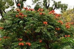 Spathodea campanulata eller afrikantulpanträd Royaltyfri Bild