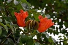 Spathodea campanulata lub afrykanina tuliptree Zdjęcia Stock