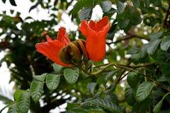Spathodea campanulata lub afrykanina tuliptree Zdjęcie Royalty Free
