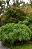 Spathodea-campanulata oder afrikanische tuliptree und Cyperuspapyrusanlage Stockfotos