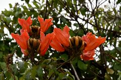 Spathodea-campanulata oder afrikanischer Tulpenbaum Lizenzfreies Stockbild