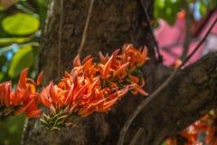 Spathodea fiorisce, albero di tulipano africano, bel del fuoco Fotografie Stock