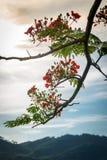 Spathodea floresce, árvore de tulipa africana, sino de fogo, árvore de Fouain Fotos de Stock Royalty Free