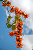 Spathodea flowers,African tulip tree, Fire bell. Fouain tree, Flame of the Forest Stock Image