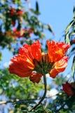 Spathodea flowers and  buds Stock Photos