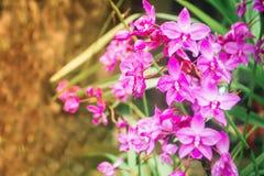 Spathoglottis fiołkowe orchidee kwitnie i rosa krople Zdjęcia Royalty Free