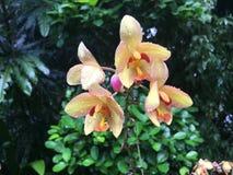 Spathoglottis Jane Goodall orkidéblomma royaltyfria foton