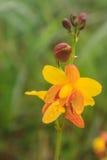 Spathoglottis lobbii Lindl kwiat Obraz Stock