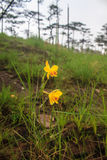 Spathoglottis lobbii Lindl kwiat Obraz Royalty Free