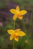 Spathoglottis lobbii Lindl kwiat Zdjęcia Royalty Free