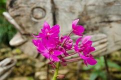 Spathoglottis orchidea w storczykowej szklarni Zdjęcia Stock