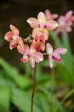 Spathoglottis orchidea w storczykowej szklarni Obraz Royalty Free