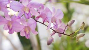 Spathoglottis plicata或大紫色兰花,异乎寻常的植物,在热带或亚热带气候发现了 图库摄影