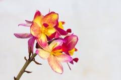 Spathoglottis Plicata purple orchids or ground orchid Stock Image